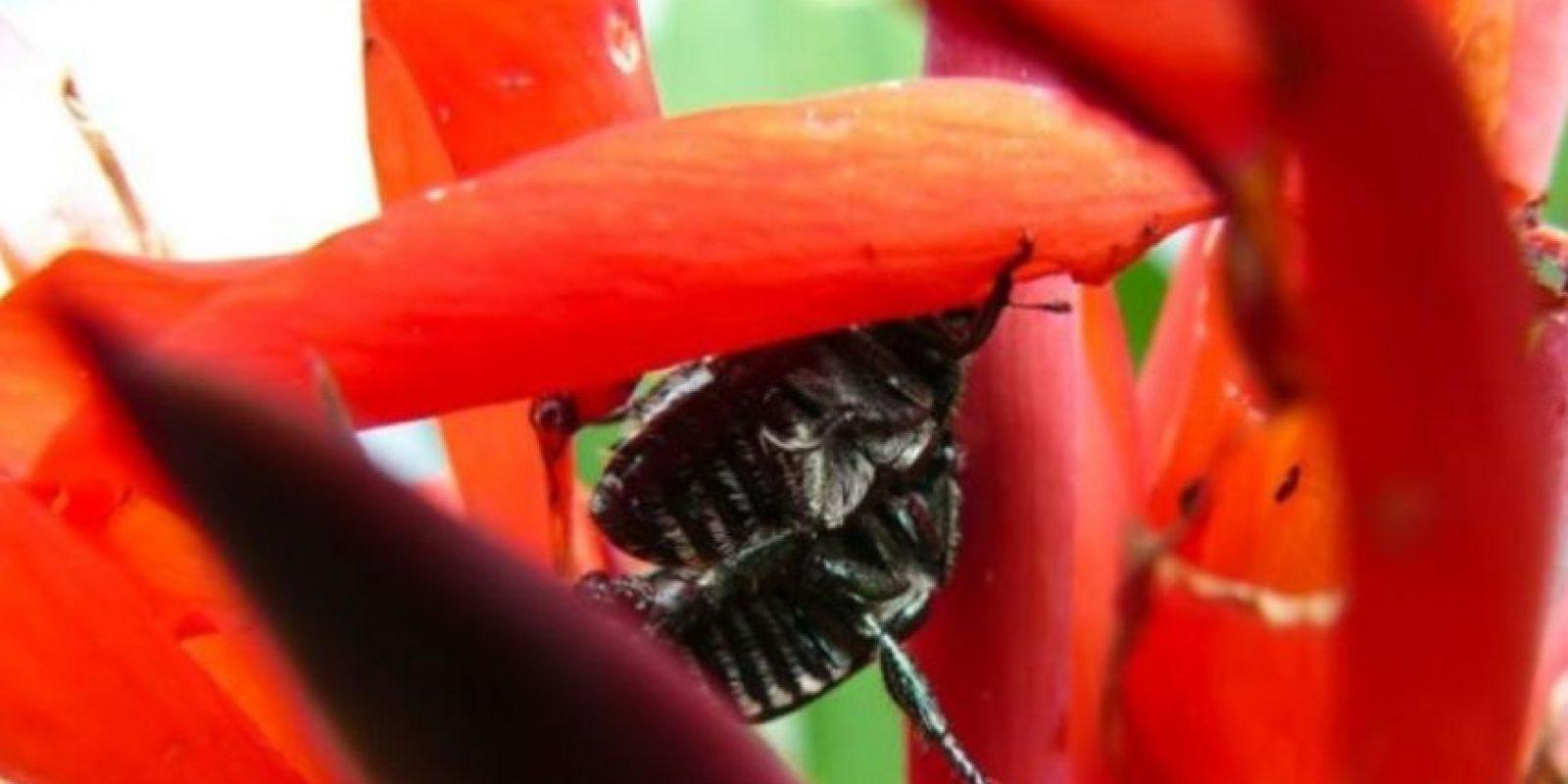 Escarabajos Foto:Wikipedia