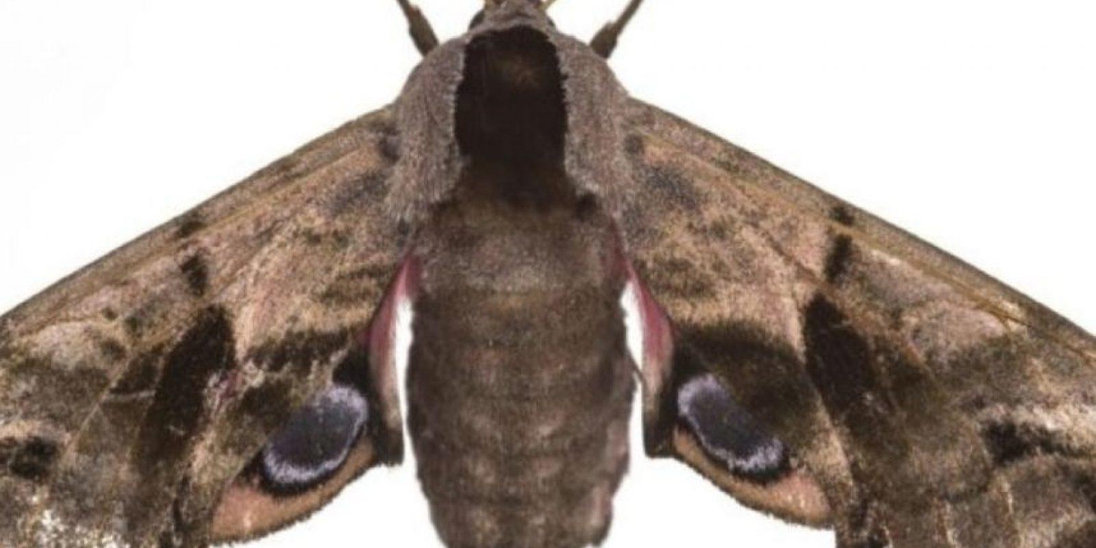 Polilla Foto:Wikipedia
