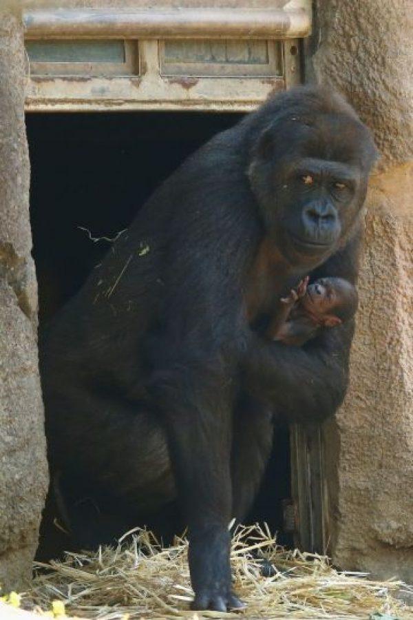 Es parte de la segunda generación de gorilas nacidos en este zoológico Foto:Getty Images