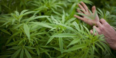 Estas cepas tienen una relación CBD-THC más alta de lo normal Foto:Getty Images