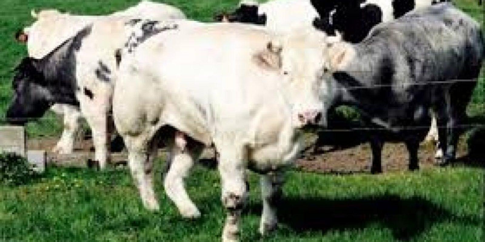 Una de sus vacas daría a luz Foto:http://asmg.footeo.com