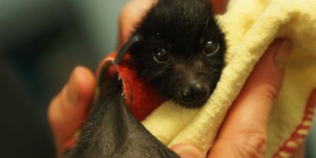 VIDEO: ¡Qué ternura! Así cuidan a estos bebés murciélago en Australia
