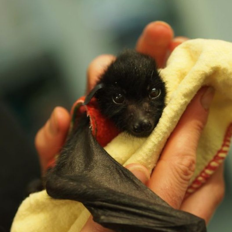 Estos animales se llaman zorros voladores. Foto:Australian Bat Clinic/Facebook