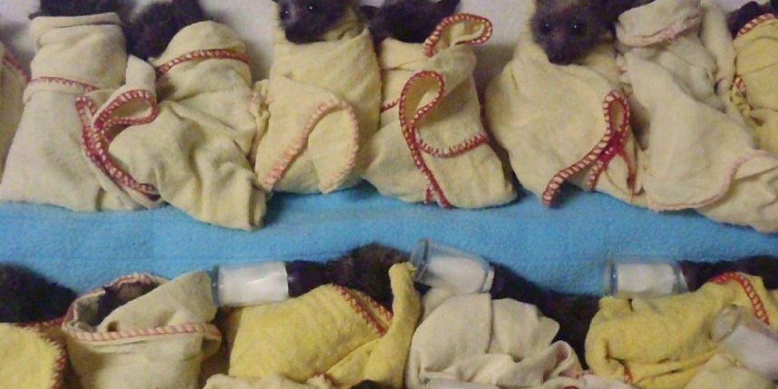 También cuidados. Foto:Australian Bat Clinic