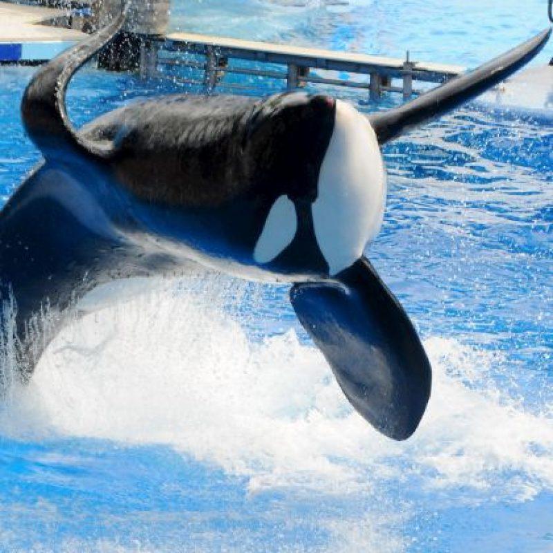 Estos mamíferos se consideran superdepredadores, pues en su hábitat no hay quien pueda superarlos Foto:Getty Images