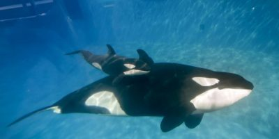 Su nombre de Ballena Asesina, fue dado por españoles en el siglo XVIII al verla atacar a cetáceos y otros mamíferos marinos de gran tamaño. Foto:Getty Images