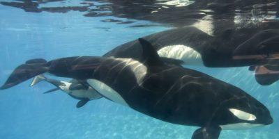 En estado joven se los puede confundir con falsos delfines. Sin embargo, al ser adultos, su aleta, su gran tamaño y sus colores las hacen extremadamente identificables. Foto:Getty Images