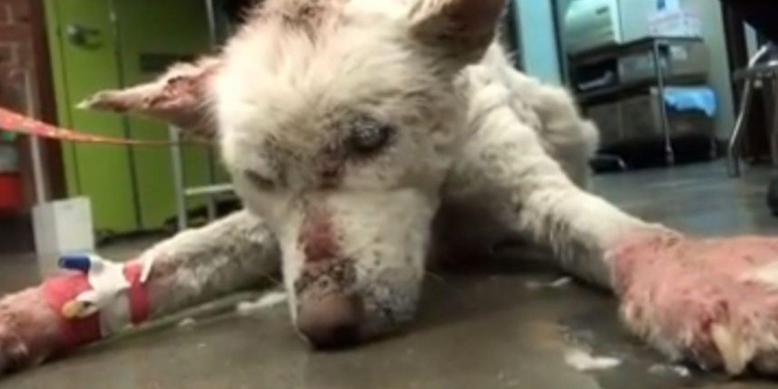 La ayudaron al grado de vonvertirla en una hermosa perrita husky Foto:Vía Youtube Eldad Hagard
