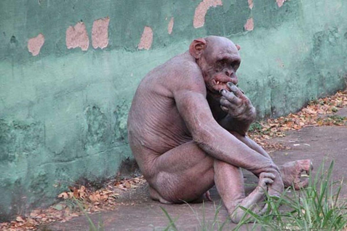 Chimpancé: Como los seres humanos, los chimpancés también sufren de alopecia, como este pobre animalito, que por su calvicie atrae muchos visitantes al zoológico donde se encuentra.