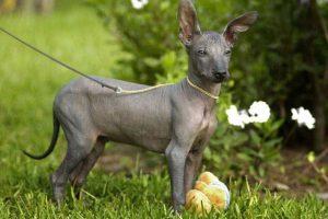 Perro: Existen algunas razas de perros. como esta, que no tienen pelo. Son buenos para las personas que tienen alergias. Machu Picchu, es el nombre de este cachorro cuatro meses que le ofrecido como mascota para el presidente Barack Obama.