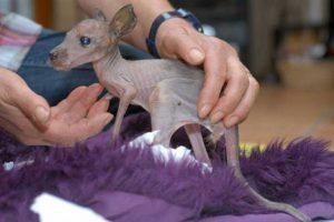 Canguro: Este bebé canguro fue abandonado por su madre en el Serengeti-Park, Alemania. Normalmente los canguros permanecen en la bolsa de su madre hasta que tienen la edad suficiente –y bastante pelo–., para valerse por sí mismos.