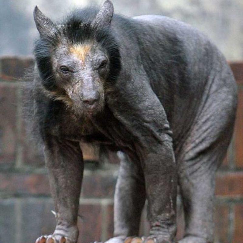 Oso: Dolores, una osa que vive en un zoológico de Leipzig, Alemania, se vio afectada por la pérdida repentina del pelo.