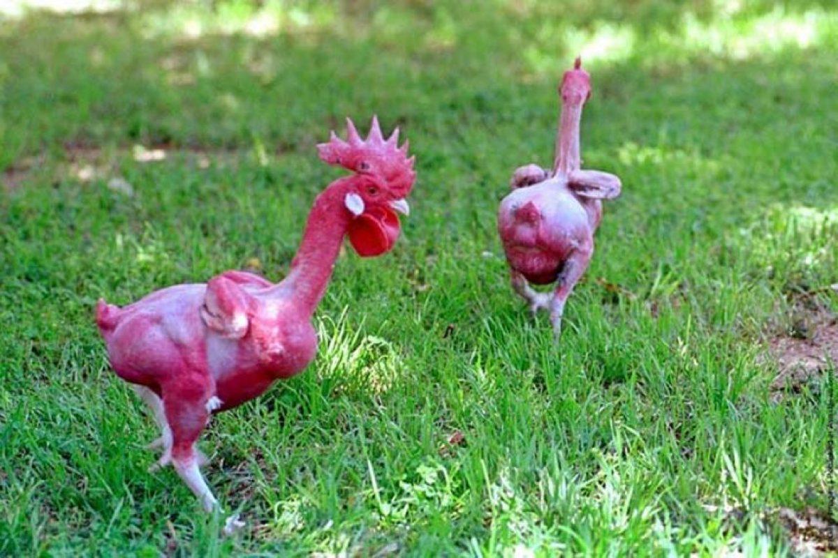Gallo: Este es el primer pollo sin plumas del mundo, que fue creado por un genetista israelí, Avigdor Cahanerat, en 2002.