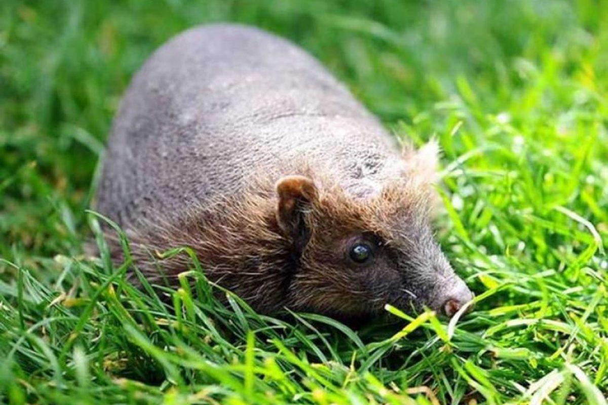 Erizo: Esta es Betty, un erizo calvo del refugio Foxy Lodge, en el Reino Unido.La causa de su calvicie es desconocida pero está saludable.