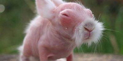Conejo: En 2009 este conejito se volvió viral en las redes porque nació prácticamente calvo. Permaneció así hasta que tres meses después le creció el pelaje normal.