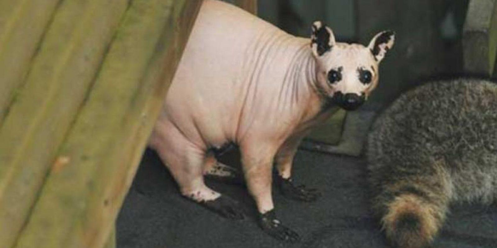Mapache: Este pobre mapache perdió todo su pelaje a consecuencia de una infección parasitaria.Se trata de un fenómeno bastante común en la vida silvestre.