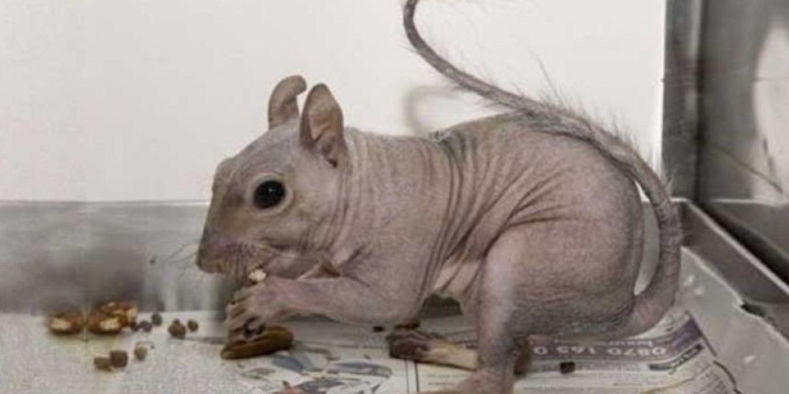 Ardilla: Puede que parezcauna rata, pero en realidad se trata de una ardilla calva.Las ardillas calvas no son tan raras, ya quepueden perder su cabello debido a una infección por ácaros.