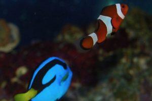 Nemo y Dory.