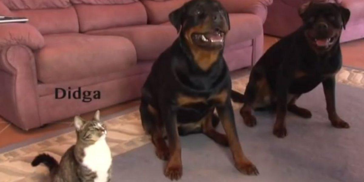 VIDEO: Didga, la gatita que actúa como perro