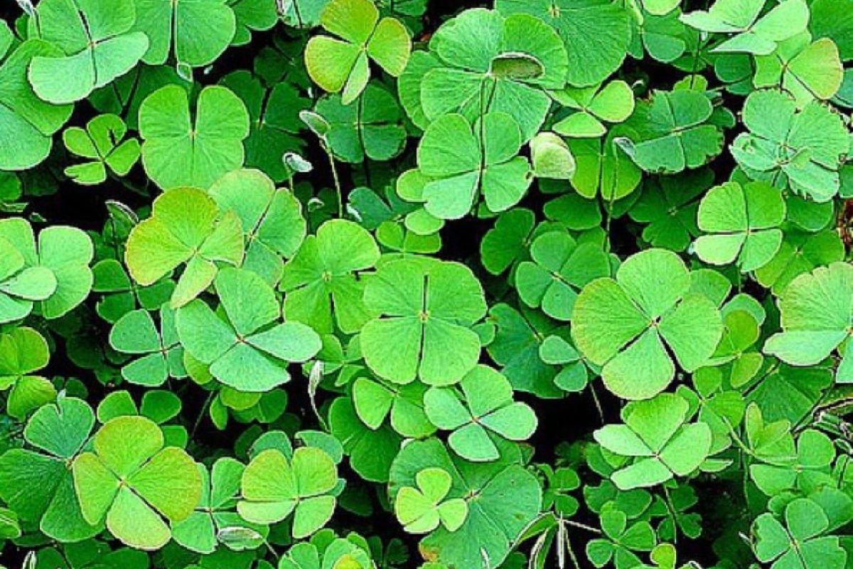 Como amuleto deberás portar un trébol de cuatro hojas. Foto:Flickr