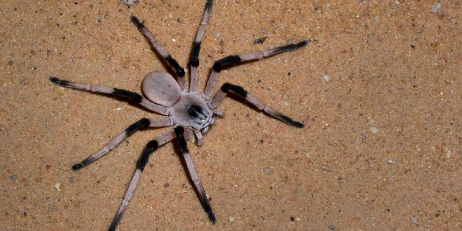 Desde el punto de vista biológico, las arañas constituyen el orden más importante y numeroso en especies actuales de la clase Arachnida Foto:Getyy Images
