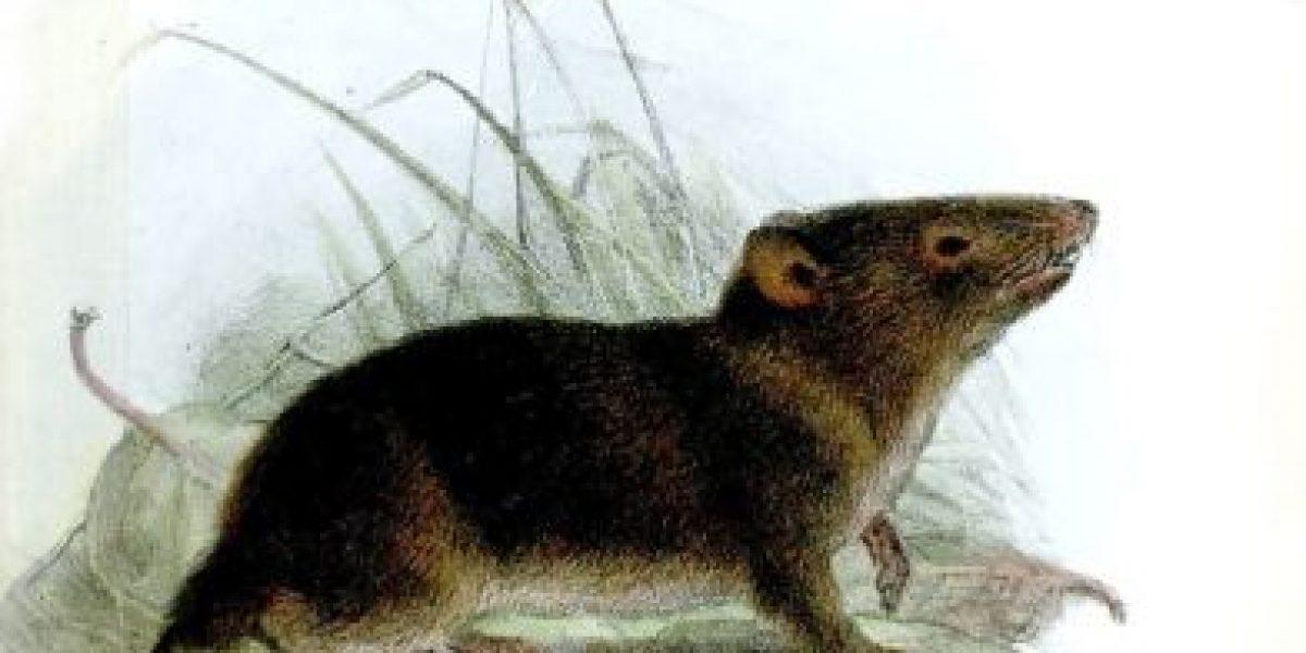 FOTOS: ¡No apto para miedosos! Las ratas gigantes sí existen