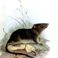 """Una foto de una rata """"gigantesca"""" tiene en ascuas a los internautas que viven en Londres. Muchos afirman que son exageraciones. Foto:Wikipedia"""