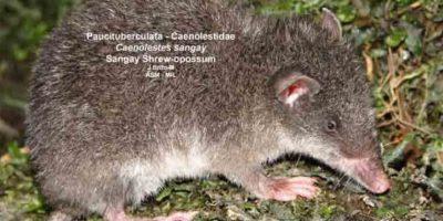 Pero las ratas gigantes no son ninguna leyenda urbana. Sí existen. Foto:Mammalogy.org