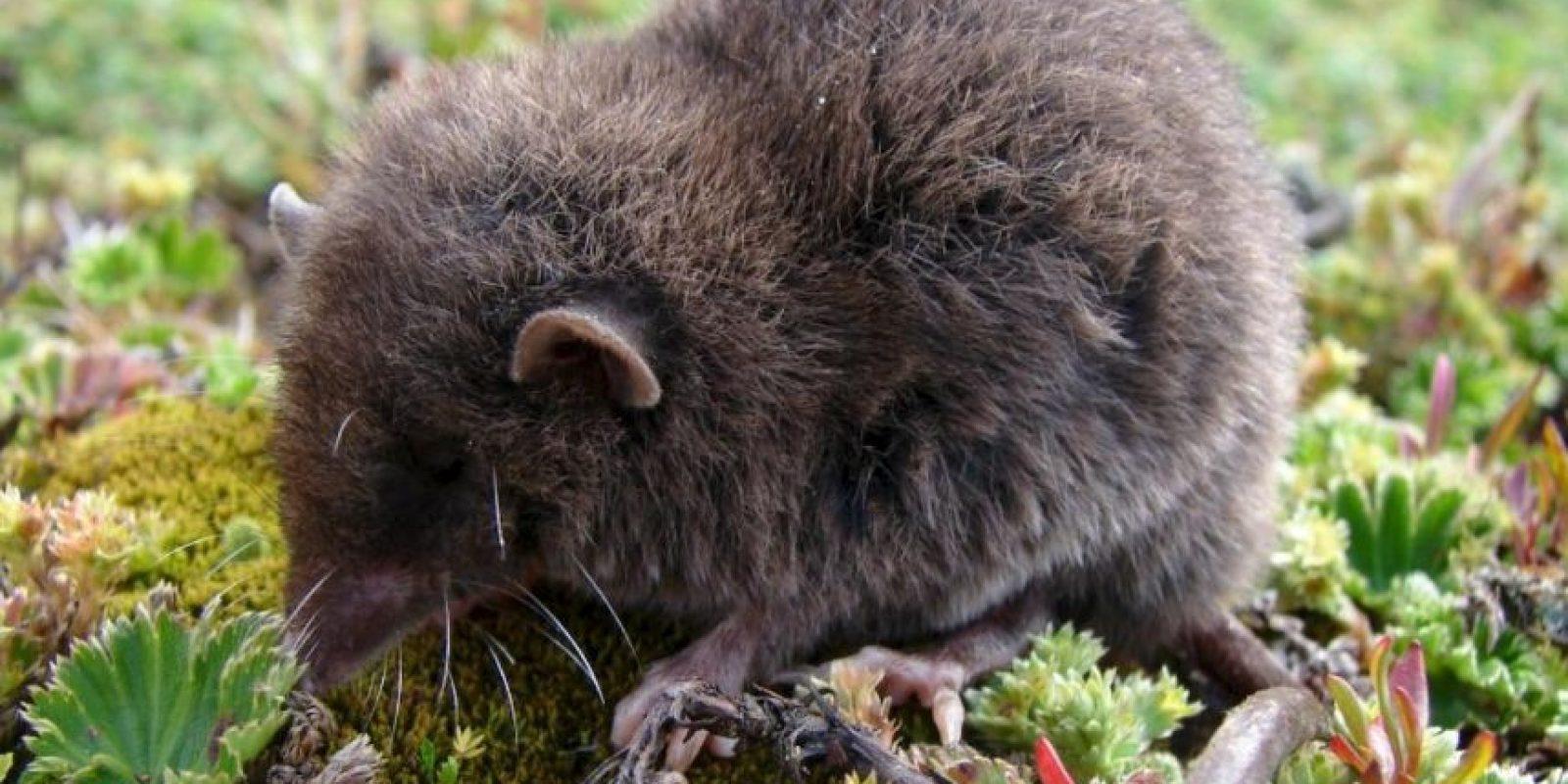 """Han logrado atrapar a muy pocos. Algunos se """"cuelan"""" por accidente en casas cercanas a su hábitat. Foto:Wikipedia"""