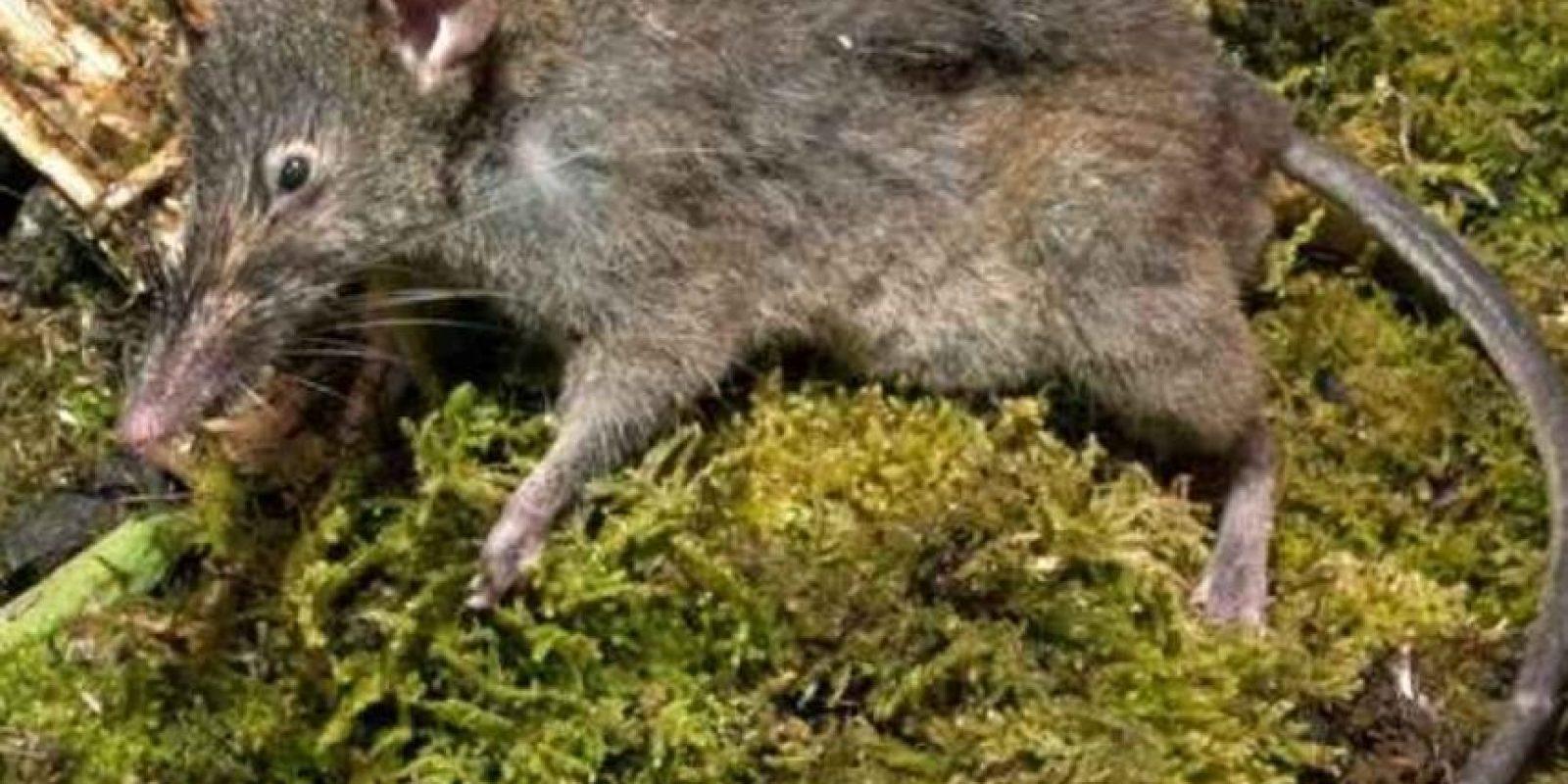 Se alimentan de invertebrados y frutas. También de pequeños vertebrados. Foto:Planet-Mammiferes.org