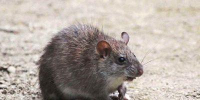 Viven en las praderas y bosques de Suramérica. Foto:Planet-Mammiferes.org