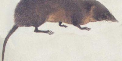 """De ahí a que se les llame """"runchos"""" Foto:Wikipedia"""