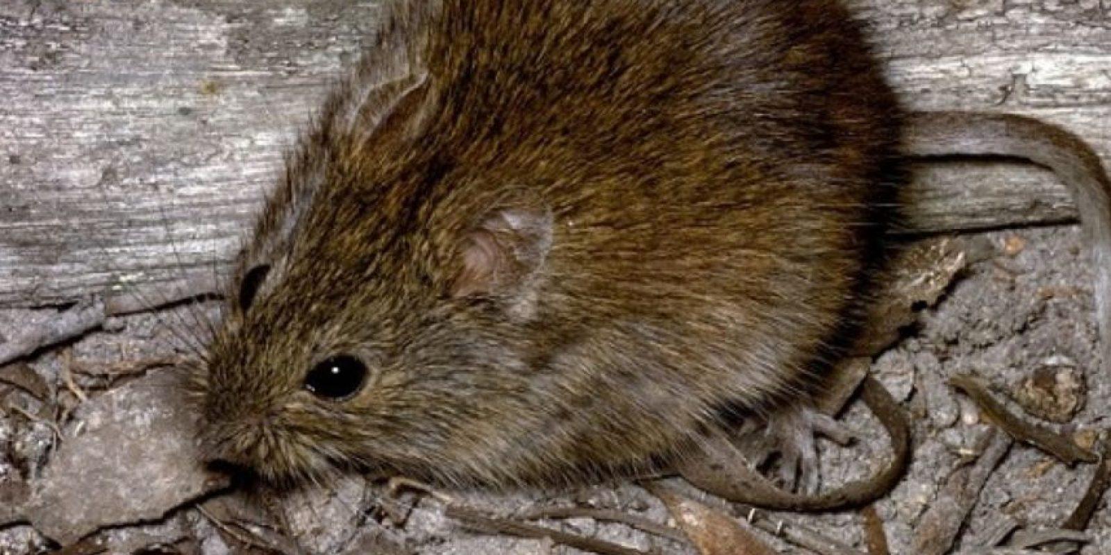 Pero no son como la rata (más pequeña en comparación a un runcho) que se apareció en Londres Foto:AnimalDay