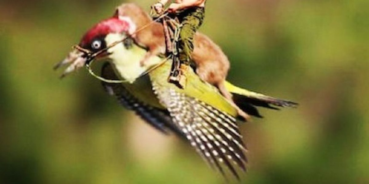 FOTO: La comadreja y el pájaro carpintero que están rompiendo Internet