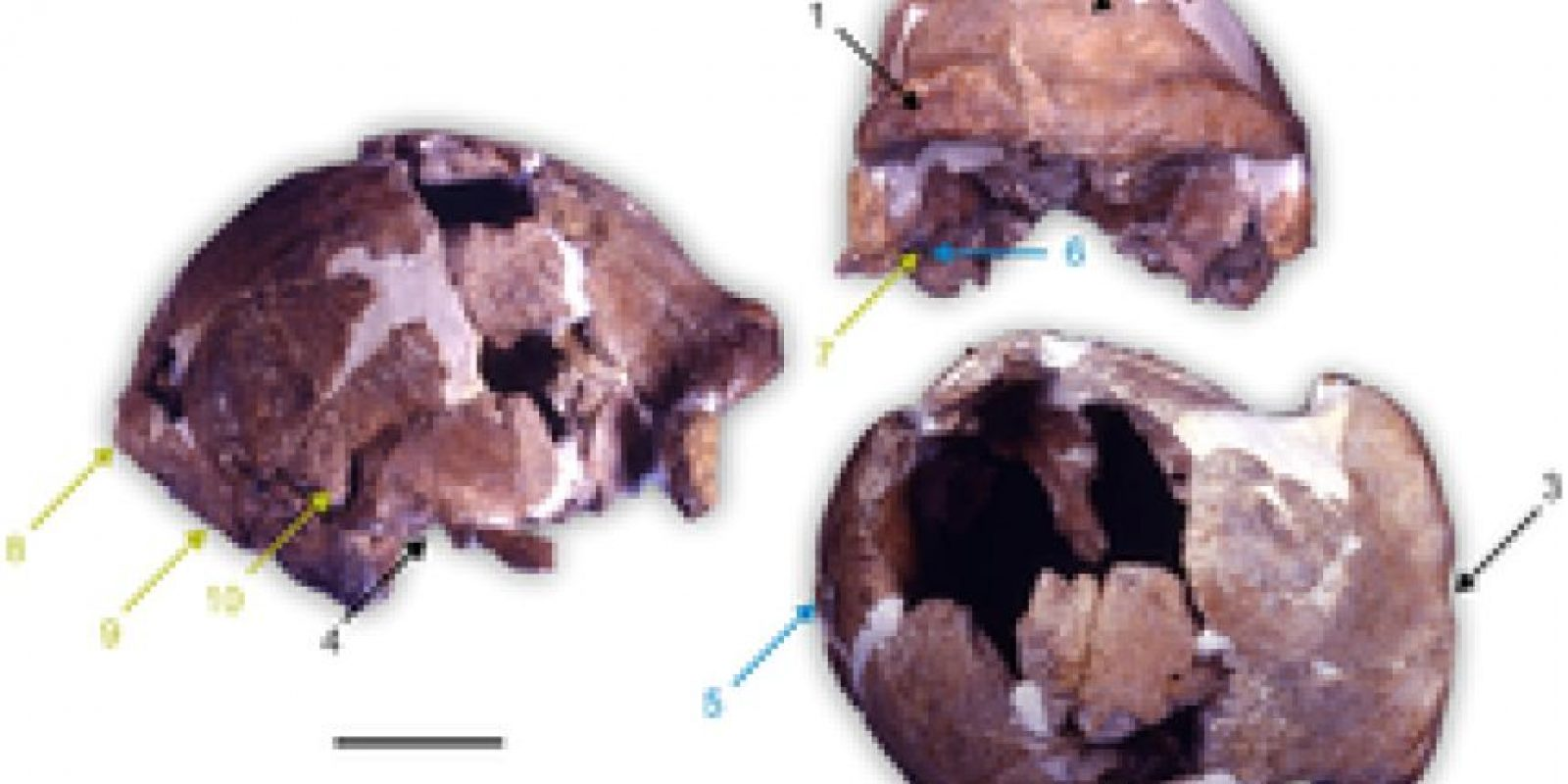 Homo Cepranensis: Fue descubierto en 1994 en Italia. Originalmente se le consideró Homo Erectus, pero por su capacidad craneada obtuvo su propio lugar. Foto:Wikimedia