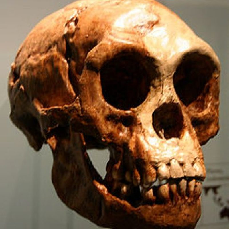 Homo Floresiensis: Se descubrió en 2004 y sorprendió por haber convivido con los seres humanos Foto:Wikimedia