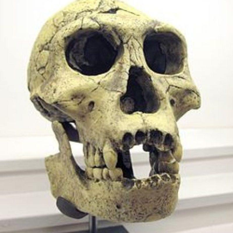 Homo Georgicus: Fue descubierto en 2002. Esta especie podía cazar animales, matarlos y procesarlos. Foto:Wikimedia
