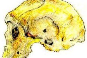 Homo Rhodesiensis: Se le llamó por primera vez así en 1921. Su capacidad neurocraneal era relativamente alta. Foto:Wikimedia