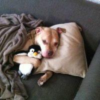 La mordida del Pitbull es más fuerte. Esto es falso. National Geographic hizo un estudio en el que se vio que el animal no era distinto a los otros perros. Foto:Flickr