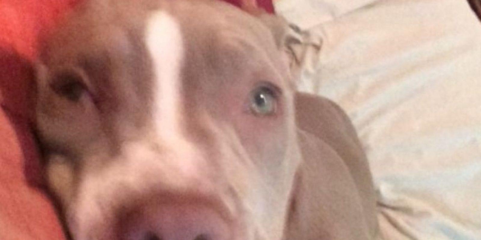 Si un pitbull es agresivo con perros, morderá a humanos: falso. Los perros saben distinguir entre razas y especies. Foto:Flickr