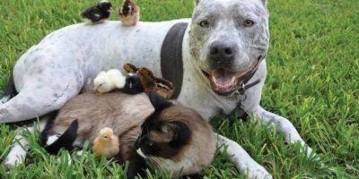 Todos los pitbull pelean con otros perros: falso. Depende de su educación. Foto:Flickr