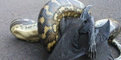 Serpientes comiéndose a zorros voladores. Foto:Imgur