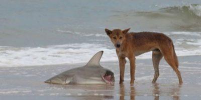 Dingos comiendo tiburones. Foto:Reddit
