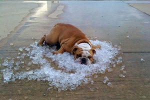 O cuando se recuestan en tierra, barro o hielo Foto:Funnyfreepics