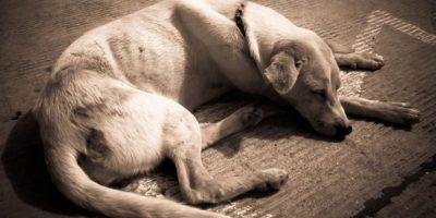 Según la organización Humane Society International se estima que en China hay aproximadamente 130 millones de perros Foto:Wikimedia