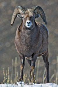 4. Borrego cimarrón se ha extinguido. Foto:Wikimedia