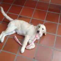 Se busca perra Golden de 4 meses perdida en el barrio prado veraniego, ayer a las 2pm, se llama Lulú. Info. 3204396461 Foto:Facebook