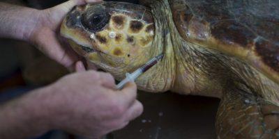 La vida de una tortuga marina puede parecer relajada y sin preocupaciones, pero tienen varios depredadores que considerar. Foto: Getty Images