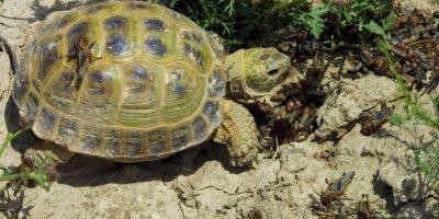 Casí todas las tortugas terrestres se caracterizan por se vegetarianas, esto eso, por basar su dieta en vegetales. Foto:Getty Images