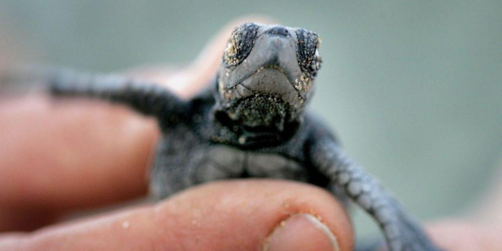 Se cree que las primeras tortugas marinas vagaron por la Tierra hace más de 250 millones de años. Foto:Getty Images